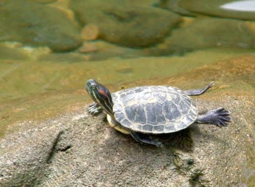 Turtle_legs_up